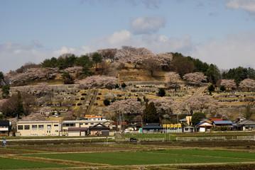 Cherry blossom, Honshu, Japan