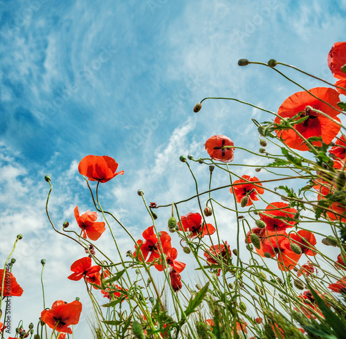 Blossom poppies flowers on blue sky background