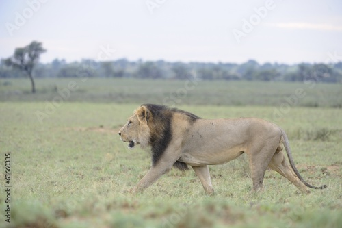 Lion (Panthera leo). Alpha male patrolling territory in Kalahar