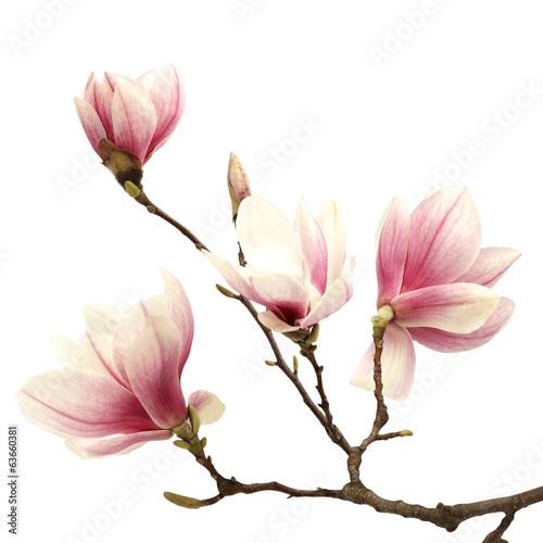 magnolia - 63660381