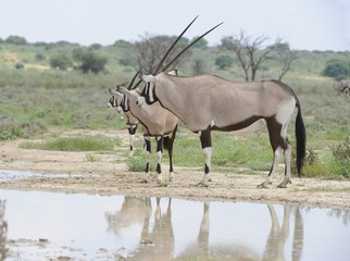 Gemsbock (Oryx gazella), at waterhole, Urikaruus, Kalahari