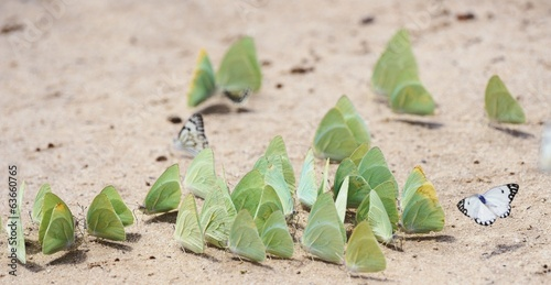 Butterflies gather to sip moisture from Kal desert sands