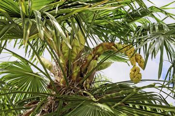 Palmier en fleur