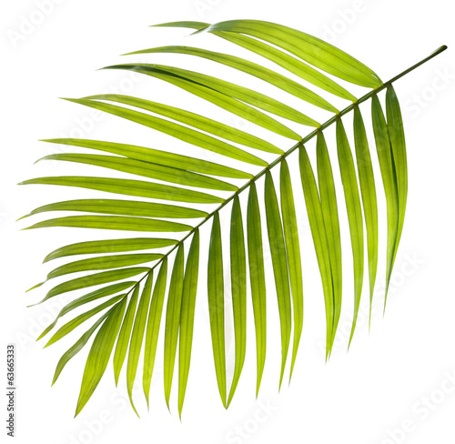 Staande foto Palm boom Green leaf of palm tree on white background