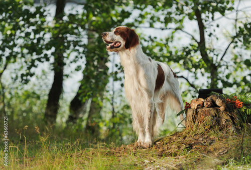 Gun dog near to trophies, horizontal, outdoors