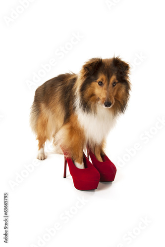 Portrait of dog wearing high heel shoes
