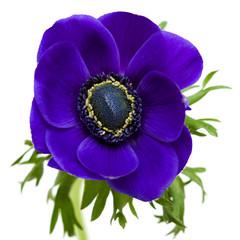 dark blue anemone