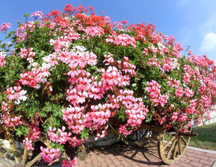 wagon with many blooming Geraniums in summer in the mountains