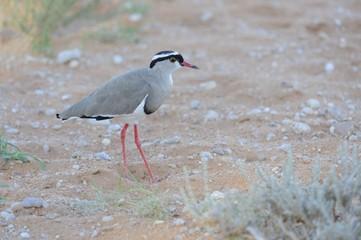 Crowned Lapwing (Plover) (Vanellus coronatus) , Kalahari desert