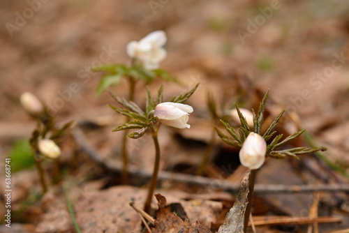Wild flowers in the forest early Siberia. Anemone sylvestris