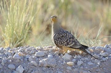 Namaqua Sand Grouse ( Pterocles namaqua)  in in Kalahari desert