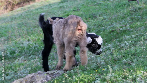 Two baby goats playing on a field