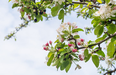 Budding and blossoming branches of a crabapple tree