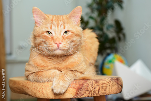 Beautiful big red cat lying and posing at home on wooden stool