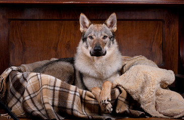 wolfdog at home