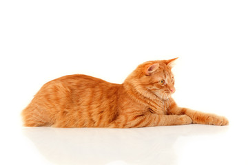 Beautiful big red cat lying and posing at studio
