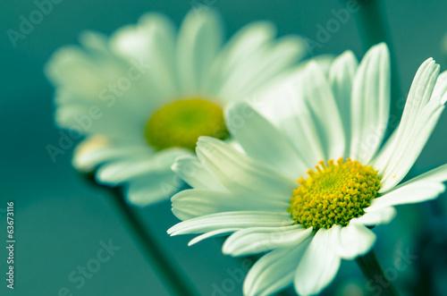 Papiers peints Marguerites daisy