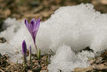 Soli nella neve rinascita dei fiori crochi Crocus