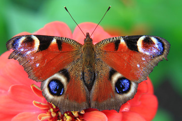 butterfly peacock in the nature