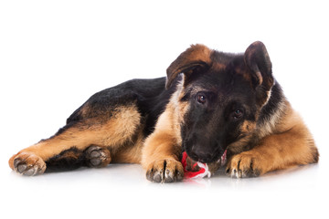 german shepherd puppy chewing a toy