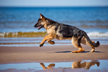 german shepherd dog running on the beach