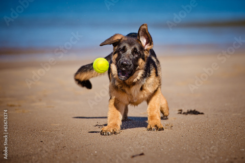 german shepherd puppy catching a tennis ball