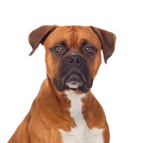 Brown dog bulldog - 63678547