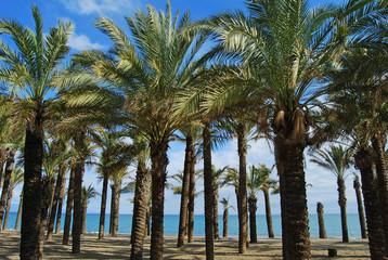 Palmeras, playa del Bajondillo, Torremolinos, Málaga