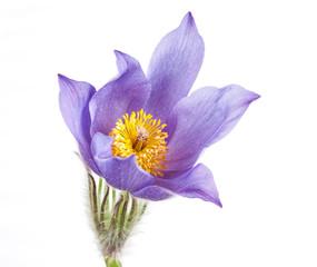 Spring flowers cutleaf anemone