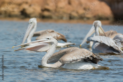 Pink-backed Pelican swallowing a fish