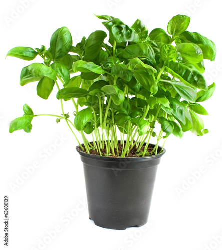 Fresh planted basil growing in a flower pot on white