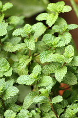 Fresh mint growing in the garden