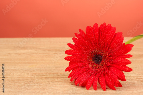 Beautiful gerbera on red background close-up