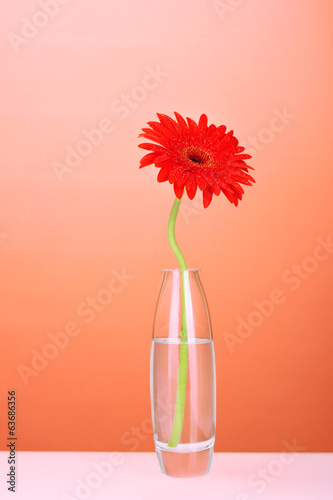 Beautiful red gerbera in vase on red background close-up