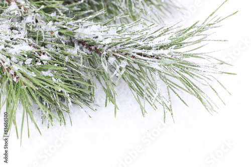 Frozen spruce branches on snow close up