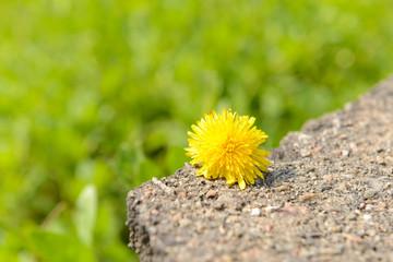 Beautiful dandelion, outdoors