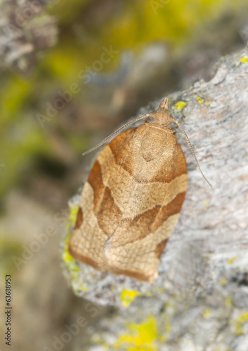 Tortricidae moth on wood, macro photo