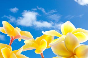 fleurs de frangipanier sur fond de ciel
