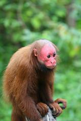 Bald Uakari