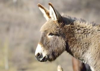 Grey donkey portrait