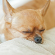 Sleeping chihuahua dog on beige background.