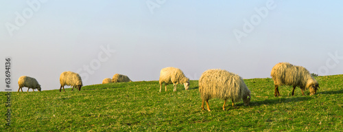 sheep eating grass in the mountain