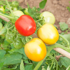 Fresh tomatoes on the plant