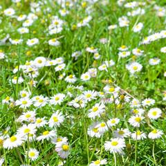 Field of daisies, Rome
