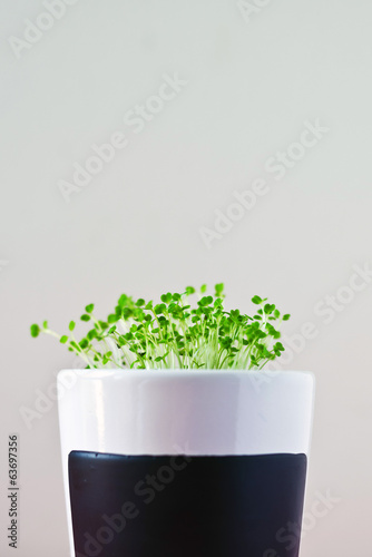 Arugula or eruca sativa offspring