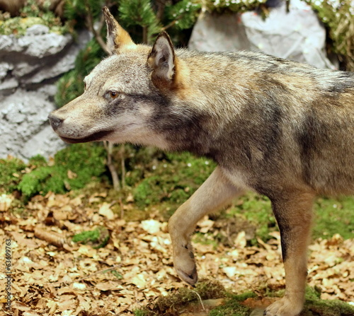 voracious Wolf looking for prey in the middle of the Woods 3