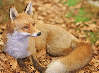 Fox while resting lying in the middle of the leaves 3