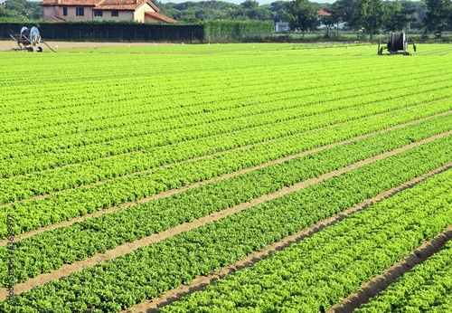 cultivation of salad  in Northern Italy with vegetable long file