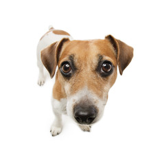 Cute dog with big nose looking to the side with suspicion