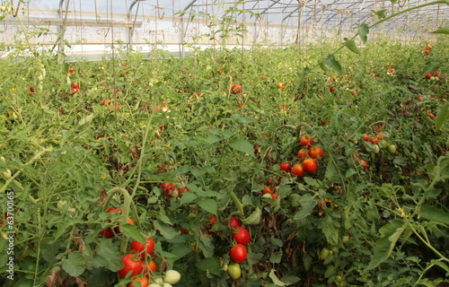 greenhouse for the cultivation of cluster tomatoes